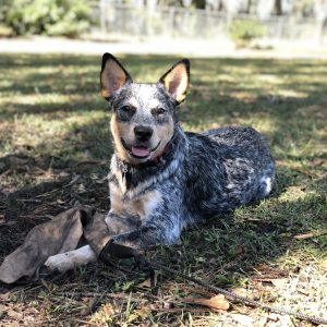 heeler puppy with tug